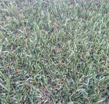 Turf Synthetic Goldlush M2 Cool Plus 35 Min 5 L/M (5x3.68